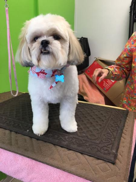 This adorable Shih Tzu received a day of pampering with our dog grooming services!